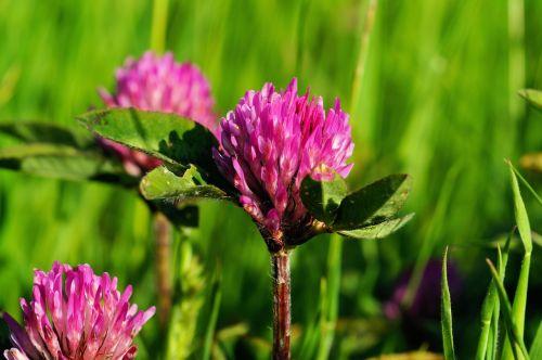 klee,dobilas,gamta,pieva,laukinės vasaros spalvos,raudonieji dobilai,augalas,raudona,gražus,žolė,laimingas dobilas,vasara