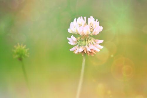 klee,žiedas,žydėti,dobilų gėlė,raudonieji dobilai,augalas,aštraus gėlė,pieva,Uždaryti,gamta,mažos laukinės gėlės,gėlė,laukinė gėlė,baltas dobilas,rožinis,gamtos gėlė,flora,botanika,žydėti,vasara,makro,žiedynas