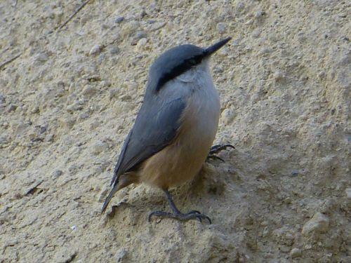 kleiber,jaunas,mažas,akmeninė siena,paukštis,jaunas paukštis,jaunas gyvūnas,plunksna,pavasario suknelė,sąskaitą,pėdos,sėdėti