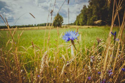 knapweed,laukas,laukinės gėlės,mėlynas,žolė,mėlyna gėlė,lauko gėlės,žydėti,gamta,vasaros gėlės,lauko augalas,veja,Iš arti,Rusija,pievos gėlės,laukinė žolė,laukinės žolelės,centaurea,vasara