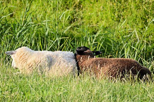 avys, ūkis, gamta, gyvūnas, ganykla, tvirtas, tvirtas