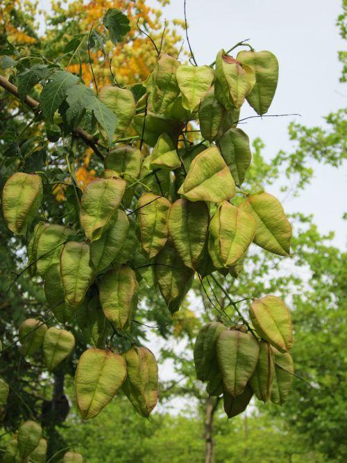 koelreuteria paniculata, aukso raudono medis, Kinų medis, Indijos pasididžiavimas, lako medis, flora, botanika, medis, augalas, rūšis, lapai