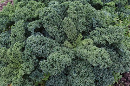 Kohl,kalytė,daržovės,maistas,sveikas,žiemos daržovės,žalias,daržovių augalas,laukas,kopūstai,frisch,bio,derlius,vitaminai,valgyti,žali daržovės,spalva