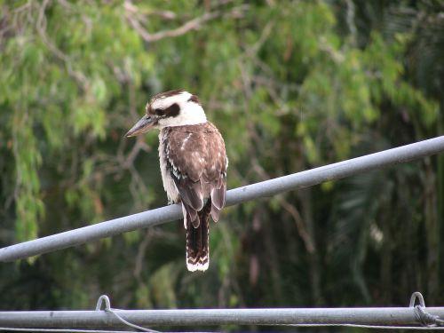 Kookaburra, Australia, Australijos Gimtoji Paukštis, Fauna, Australijos Fauna, Queensland, Gamta, Paukščiai, Paukštis, Snapas, Plunksnos, Ruda, Mėlynos Spalvos
