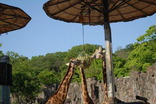 Korėja, Korėjos Respublika, parkas, Zoo, gyvūnas, ganomi gyvūnų, žirafa, pietauti