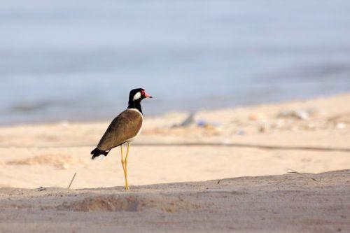 Kra แ T แ Tg แ Wgd, Smėlėtas Paplūdimys, Jūra, Paukščiai, Naminiai Paukščiai