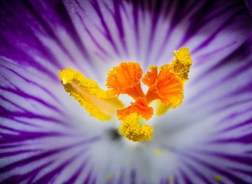 Krokus, gėlė, viduje žydėjimo būsenoje, žiedadulkės, nektaro, medus, Violetinė, geltona, makro fotografija, gėlės, Sodas, meadow, augalas