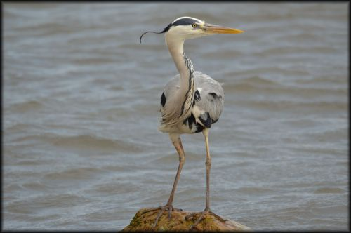 heronas, žuvis, vanduo, sūkurys, paukštis, žvejyba, gyvūnas, gamta, heronas
