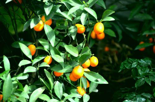 maistas, citrusiniai, kumquat, oranžinė, rūgštus, mažas & nbsp, krūmas, kumquats