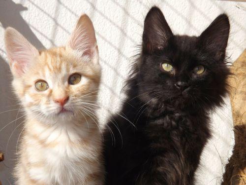 kurilian bobtail,katė,kačiukas,juodas kačiukas,sidabrinis raudonas kačiukas,žinduolis,gyvūnas,juoda