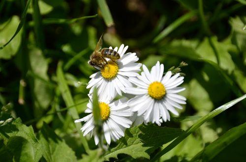 bičių, gėlės, žiedadulkės, medus, fauna, flora, gamta, laukinė gamta, vabzdys, apdulkinimas