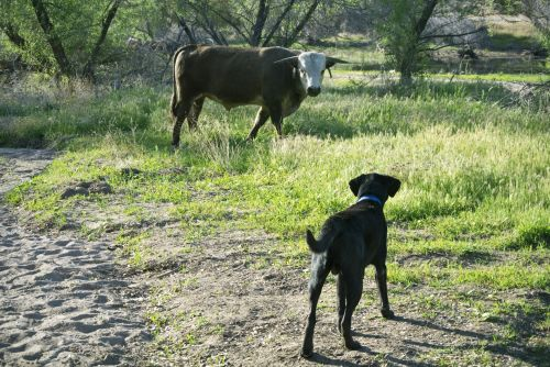 laboratorija, juoda, bulius, karvė, šuo, lab prieš buliuką