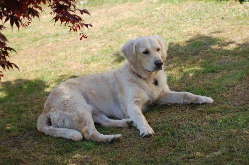labradoras,šuo,didelis,naminis gyvūnėlis,kailis,saldus,melas,brangioji,portretas,Uždaryti,sodas,šunų portretas,gyvūnų portretas