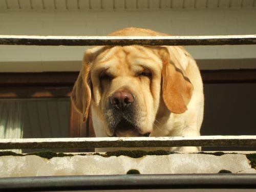 labradoro portretas,retriver portretas,šunų portretas,labradoras smagu