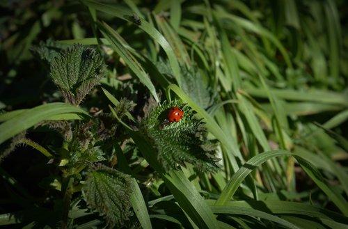 Boružė, vabzdys, Boružė, Coccinellidae, Coccinella, septyntaškė boružė