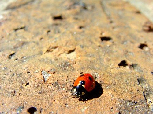 Boružė, vabaliukas, Boružė, vabzdys, Re, pobūdį, Ladybird, raudona, Nariuotakojai, margas