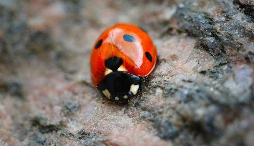 Boružė,raudona,taškai,juodi taškai,pavasaris,Gegužė,makro,vabalas,vabzdys,raudonas vabalas,trys,trys punktai,coccinellidae,Boružė,naudingas,sėkmė,trys taškai,akmuo,spalva,blizgantis,juokinga,pentecost,sodas