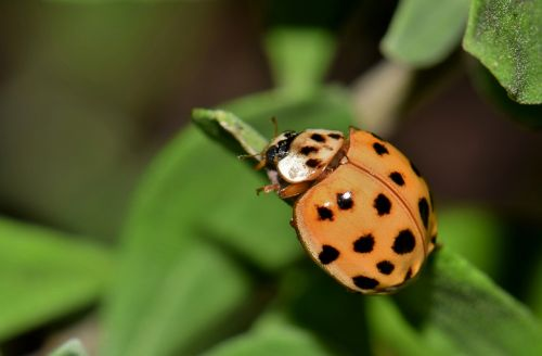 Boružė,berniukas,dami vabalas,harlequin lady vabalas,spalvoti,daugialypis,moliūgų vabalas,klaida,skraidantis vabzdys,sparnuotas vabzdys,oranžinė klaida,vabzdys,gamta,Iš arti,makro,lapai,biologija,entomologija,nariuotakojų,Bokeh,harmonia axyridis