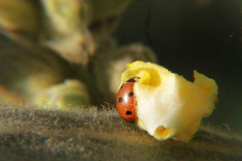 Boružė,laimingas žavesys,amarai,masto vabzdžiai,vabzdžių nuotrauka,vabzdys,gamtos apsauga,makrofotografija,graži,vabalas,sodas,pastebėtas,makro nuotrauka,makro