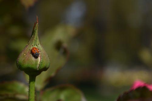 Boružė,gamta,vabzdys,sodas,klaida,pavasaris,augalas,žalias,Boružė,budas