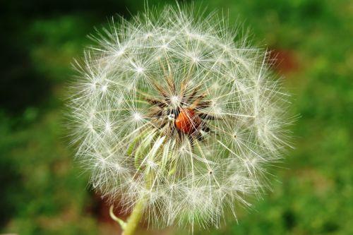 Boružė,vabzdys,kiaulpienė,gėlė,sėkla,augalas,gamta,vabalas