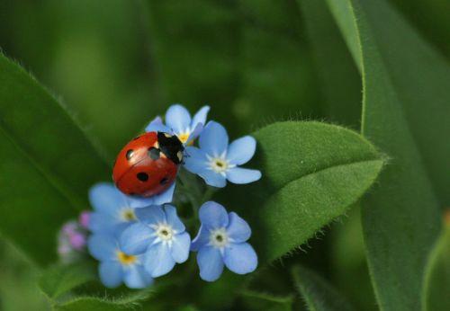 Boružė,vabzdys,gyvūnai,Uždaryti,makro,Nepamiršk manęs,gėlė,žiedas,žydėti,žydėti,gamta,augalas,mėlynas,šviesiai mėlynas,gėlės,vabzdžių makro,gyvūnas,fauna,makro nuotrauka,gyvūnų pasaulis,flora,makrofotografija,vabalas,vabalas makro,vabzdžių nuotrauka
