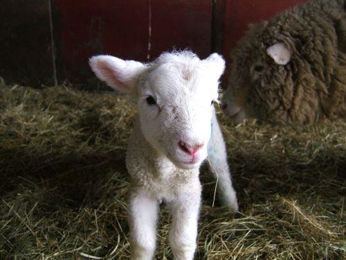 ėriena,avys,ūkis,pavasaris,gyvuliai,vilnonis