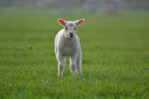 ėriena,avys,ūkis,gyvūnas,kūdikių gyvūnai,ūkio gyvūnai,mieli gyvūnai
