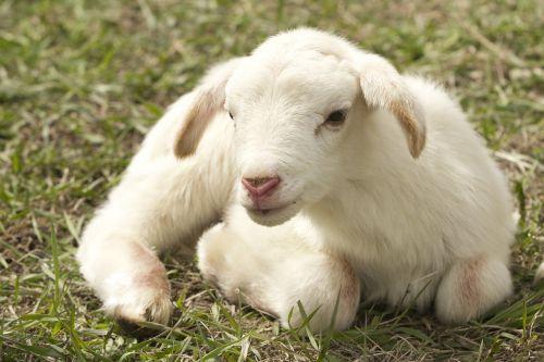 ėriena,ūkis,avys,gyvuliai