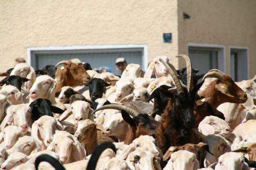 ėrienos plūdrumas,avys,ožka,ovis,capra,ataka,ragai,flock