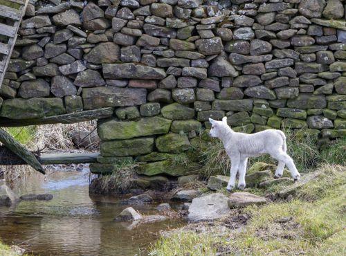 ėriena, jaunas, avys, kūdikis, gyvūnas, smalsus, tyrinėti, vanduo, srautas, mielas, gamta, Laisvas, viešasis & nbsp, domenas, tyrinėti avinėlį