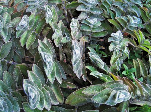augalai, ėriukai & nbsp, ausis, žalias, šviesa, purus, ėriukų ausis gėlių kišenėje