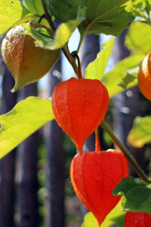 lampionblume,dekoratyvinis augalas,šlapimo pūslės vyšnios,fizalis,nachtschattengewächs,Solanaceae,gėlė,sepals,taurė,perikarpas,oranžinė,flora,schnittblume