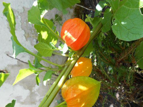 lampionblume,gėlė,dekoratyvinis augalas,sepals,oranžinė,flora,gamta,sodas,augalas