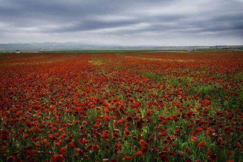 kraštovaizdis,aguonos,laukas aguonos,grožis,laukas,raudona,laukinis laukas,debesys