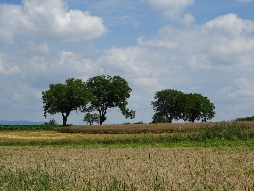 kraštovaizdis,medis,gamta,dangus,gražus,grūdai,laukas,debesys,vasara,žolė,oras,mėlynas,kukurūzų laukas,žalias,Žemdirbystė,ariamasis,derlius,vaizdingas,nuotaika,grūdų laukas,augalas,žinoma,idilija
