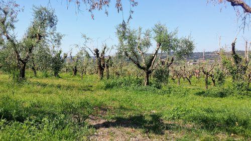 kraštovaizdis,medžiai,italy,medis,gamta,filialai,mirę medžiai