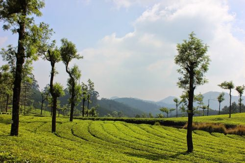 Kraštovaizdis, Gamta, Medis, Žemdirbystė, Laukas, Kerala, Indija, Terasa Sodas, Arbatos Plantacija, Pietų Indija, Munnar