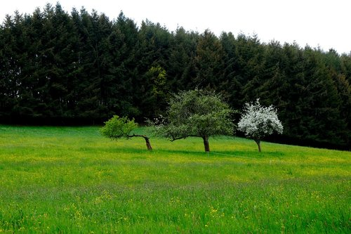 kraštovaizdis, žolė, meadow, pobūdį, miškas, medžiai, natūralus, lapai, Pavasario gėlė, spyruoklė pabudimo, žiedas, žydi, pavasaris, anksti Gama, žalias, farbenpracht, šviesus, ryškios spalvos, spalvinga, žydi, spalva, gėlės, šviesos, vyšnios medis, vyšnių žiedas, žiedas, baltos spalvos, baltas žiedas