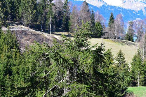 kraštovaizdis,medžiai,trejetas,eglė,gamta
