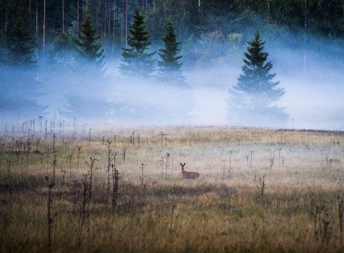 peizažai,gamta,Švedija,gražiai,ruduo,medis,lapai,filialai,miškas,paslaptis,elniai,gyvunai elniai