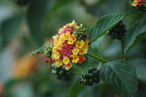 lantana,sodas,gėlė,žiedas,žydėti,augalas,konteinerių gamykla,gėlės,žydėti,Balkonų gamykla,spalvinga