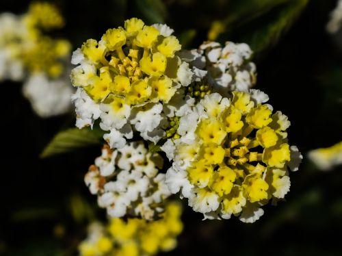 lantana,gėlės,gėlių,gamta,žiedas,žiemos gėlės,sodas,šviežias,spalvinga