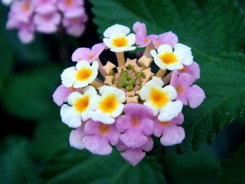 lantana,didelis grybas,gėlės,laukinis šalavijas,raudonasis šalavijas,baltasis šalavijas,česnakai,spalvoti,raudona,geltona,rožinis,violetinė,mažas,žydi,žiedai,sudėtingas,žiedlapiai