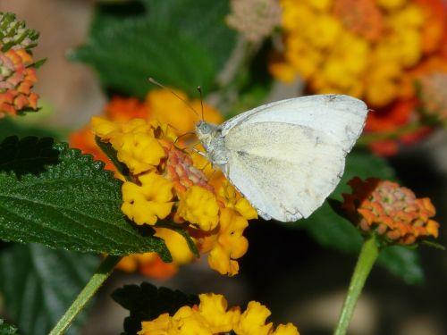 lantana,gėlė,drugelis,balta mediena,leptidea sinapis,leptidea supratau,drugeliai,baltoji molva,pieridae,rašalo dėmelė balta