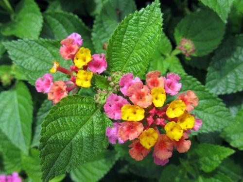 lantana camara,gėlės,didelis grybas,laukinis šalavijas,raudonasis šalavijas,baltasis šalavijas,česnakai,spalvoti,raudona,geltona,rožinis,violetinė,mažas,žydi,žiedai,sudėtingas,žiedlapiai