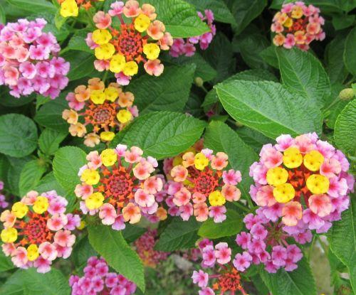 lantana & nbsp, camara, gėlės, didelis & nbsp, šalavijas, laukiniai & nbsp, šalavijas, raudona & nbsp, šalavijas, balta & nbsp, šalavijas, česnakai, spalvoti, raudona, geltona, rožinis, violetinė, ryškus, maža & nbsp, žydėjimas, žiedai, sudėtingas, žiedlapiai, žydėti lantaną