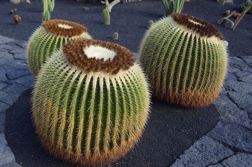 lanzarote,kaktusas sodas,Uždaryti,kaktusas,Kanarų salos,lankytinos vietos