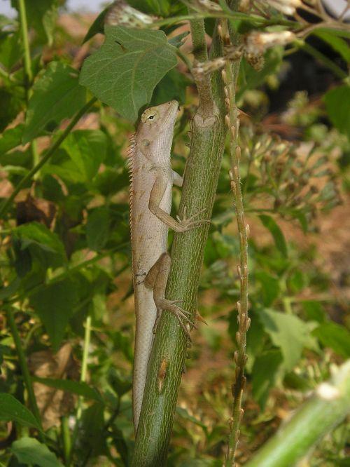 laosas,gyvūnas,driežas,iguana,į pietryčius,asija