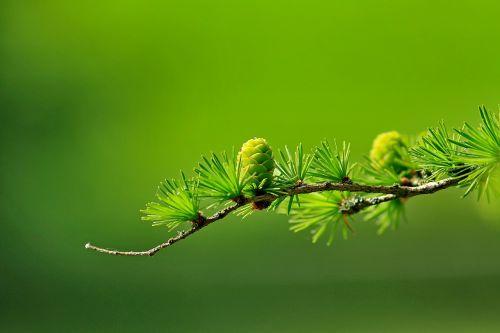 maumedis,spygliuočių kūgis,filialas,medis,gamta,spygliuočių,larix,pinaceae,kūgis,lapuočių medis,žalias,makro,išsamiai,larix decidua,Europos maumedis,lapuočių spygliuočių medis,lapuočių,lapai,adata,adatos,šviesiai žalia,sėkla,eglė,Eglė,tamsiai žalia,šviesiai žalia,tamsiai žalia,eglės adata,eglės kūgis,palikti